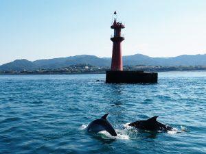 イルカの聖地天草 SDGs活動の普及をする 通詞島前で泳ぐイルカ